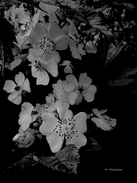 blackberry blossoms signed