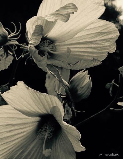 hibiscus signed